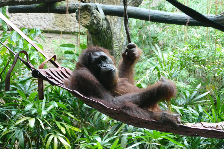 """L'orang-outan, ou """"homme de la forêt"""" en malaisien, fait, comme l'homme, partie de la grande famille des hominidés. ©Florence Heimburger"""