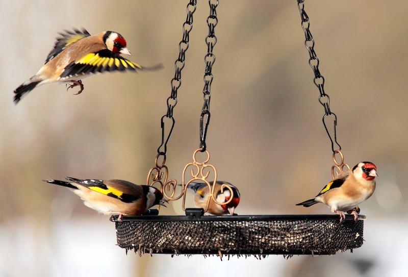 Faut-il nourrir les oiseaux en hiver?