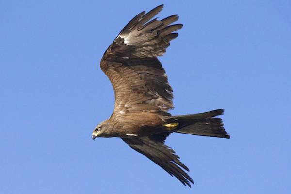 Les faucons crécerelles et les milans noirs s'observent dans le ciel de Bordeaux