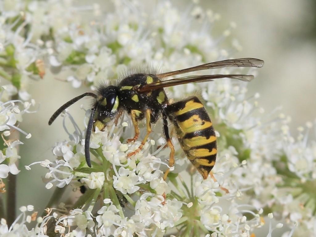 Guêpes : pourquoi sont-elles aussi utiles que les abeilles ?