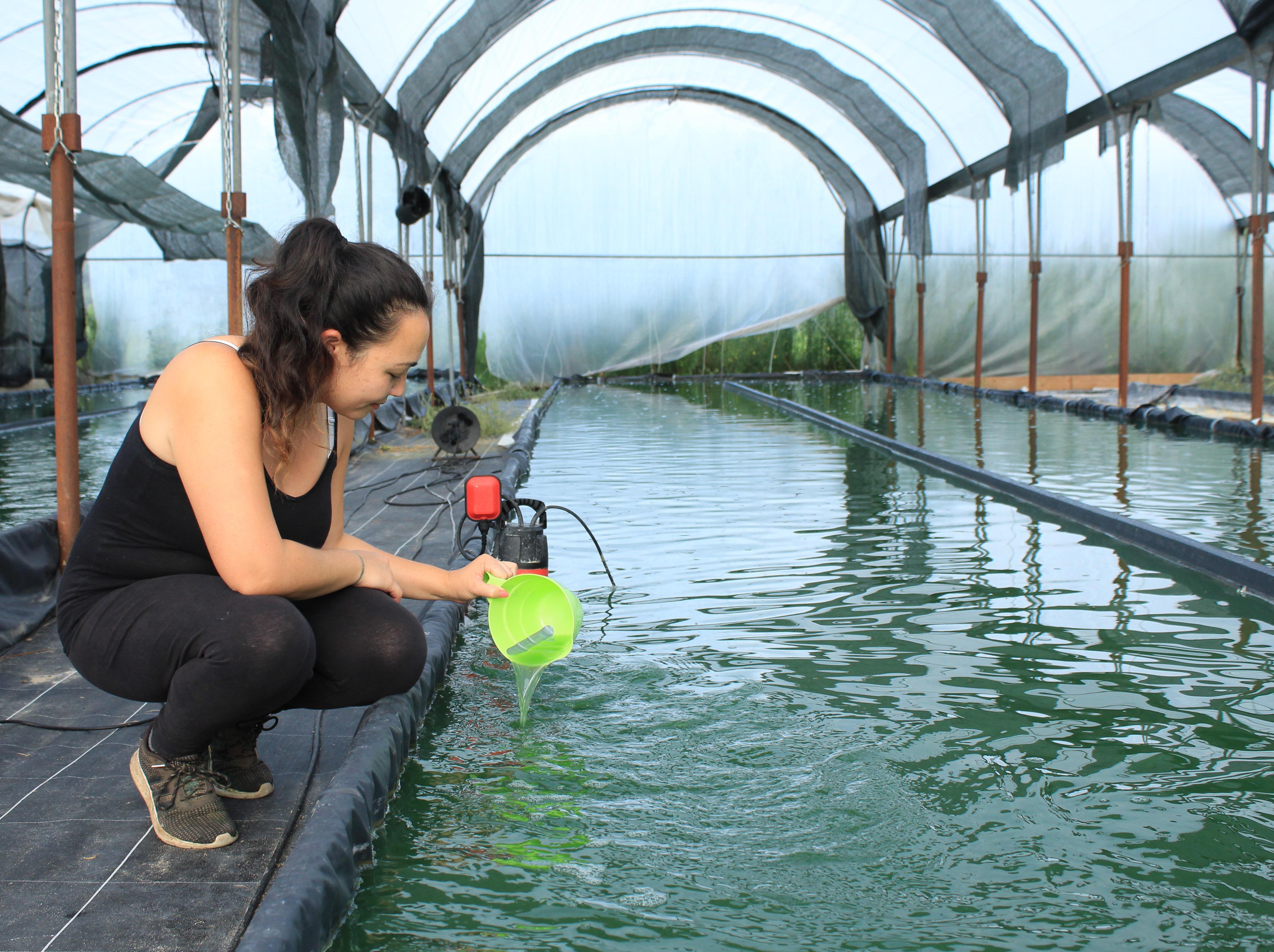 Une algue vertueuse cultivée en pleine campagne dans les Landes