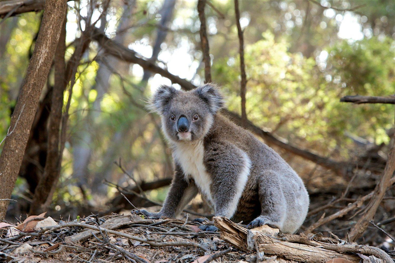 la situation des koalas en Australie