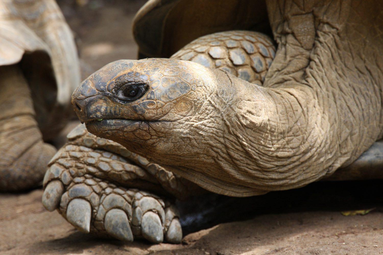 tortue géante diego