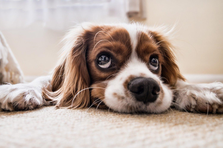 chien meilleur ami de l'homme