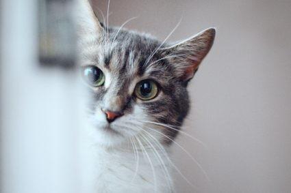 chats phéromones