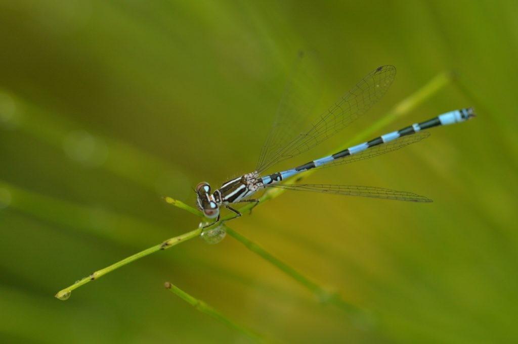 Cette espèce de libellule, baptisée agrion de Mercure (ou <em>Coenagrion mercuriale</em>) affectionne particulièrement la Dordone, où elle est bien présente. En revanche, elle est menacée au niveau national, d'où notre responsabilité de la conserver. ©CD24