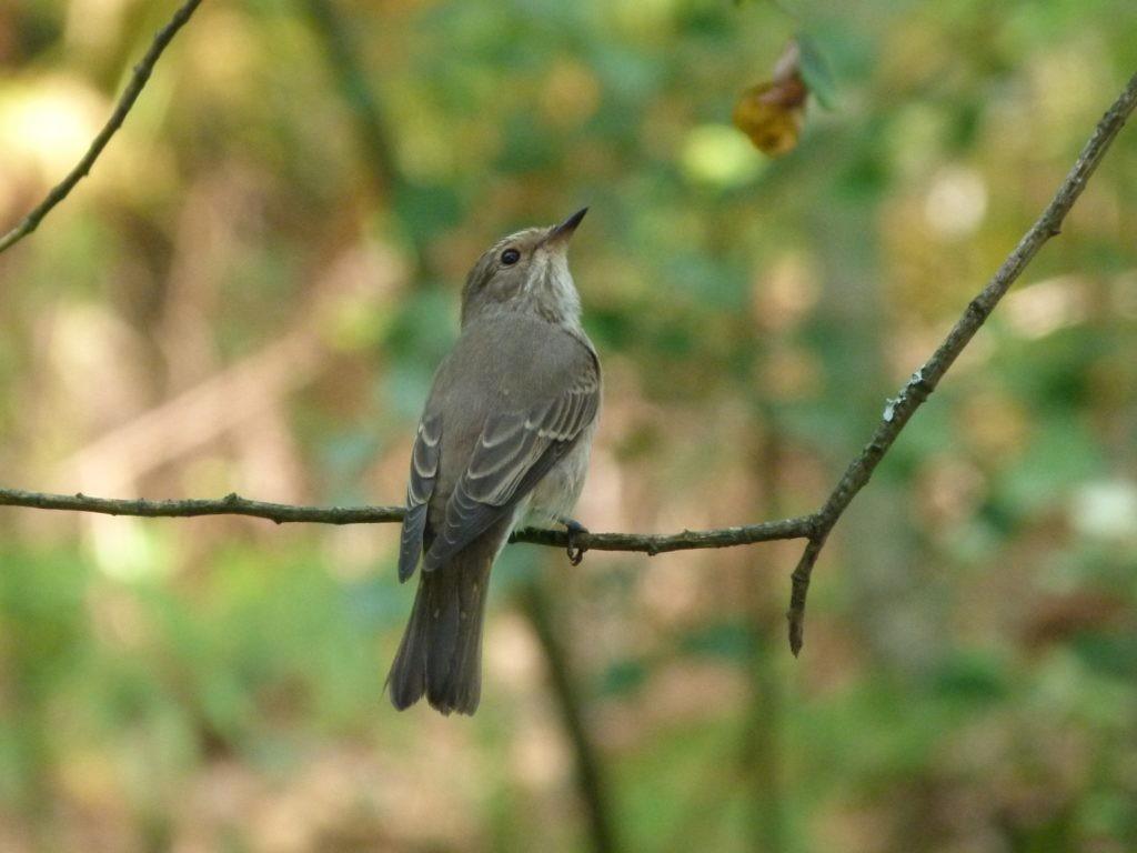 Le gobemouche gris (ou <em>Musicapa striata</em>) vit dans les zones boisées de Dordogne et se nourrit d'insectes volants. Il n'est pas menacé, au grand bonheur des ornithophiles. ©CD24