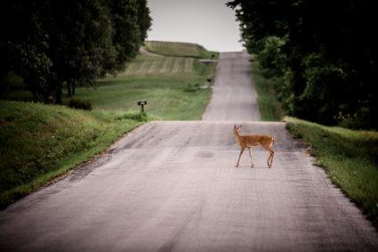 cerf sur route