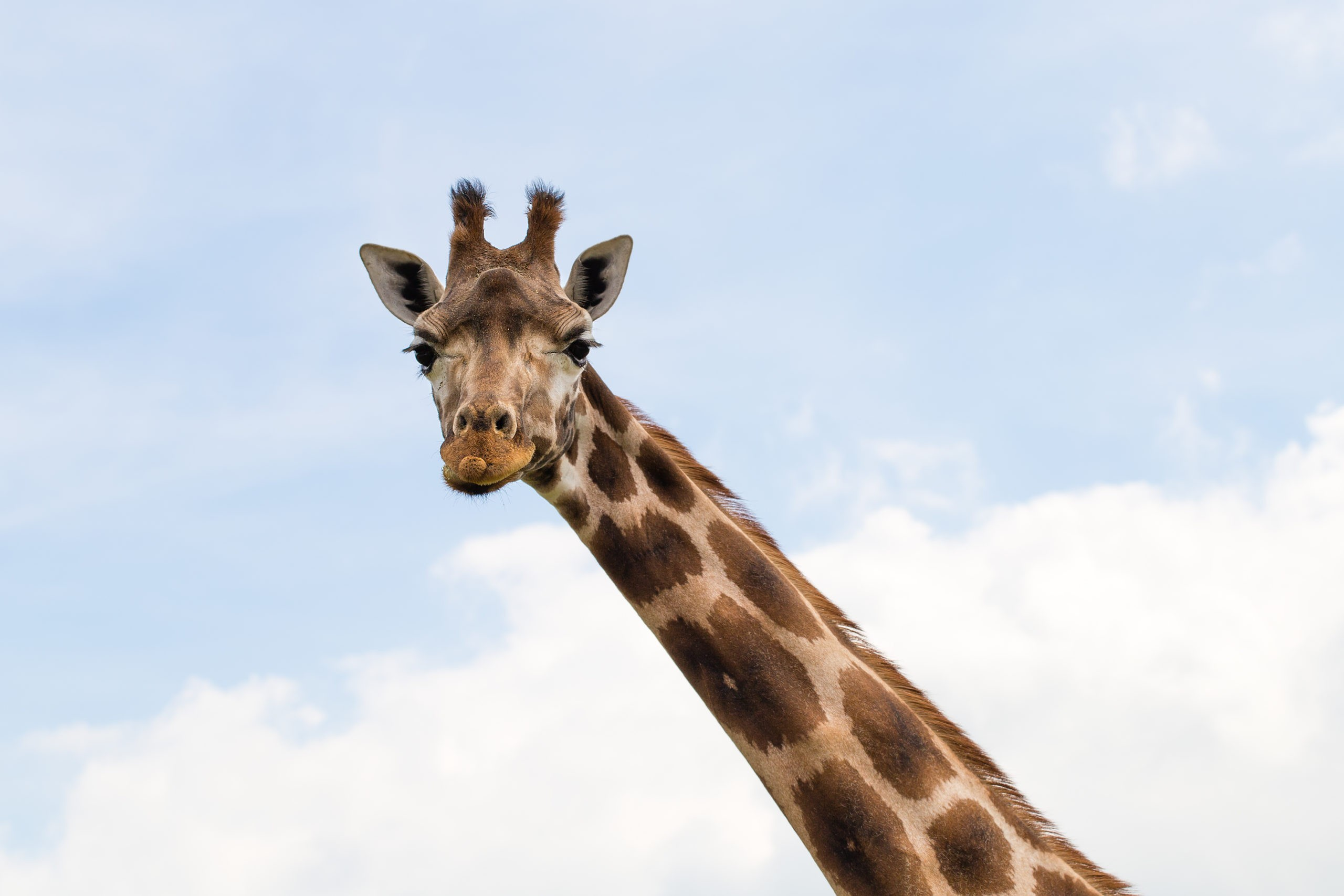Le cou de la girafe s'est-il agrandi en tirant dessus? - Curieux!