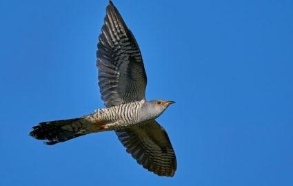 coucou oiseau