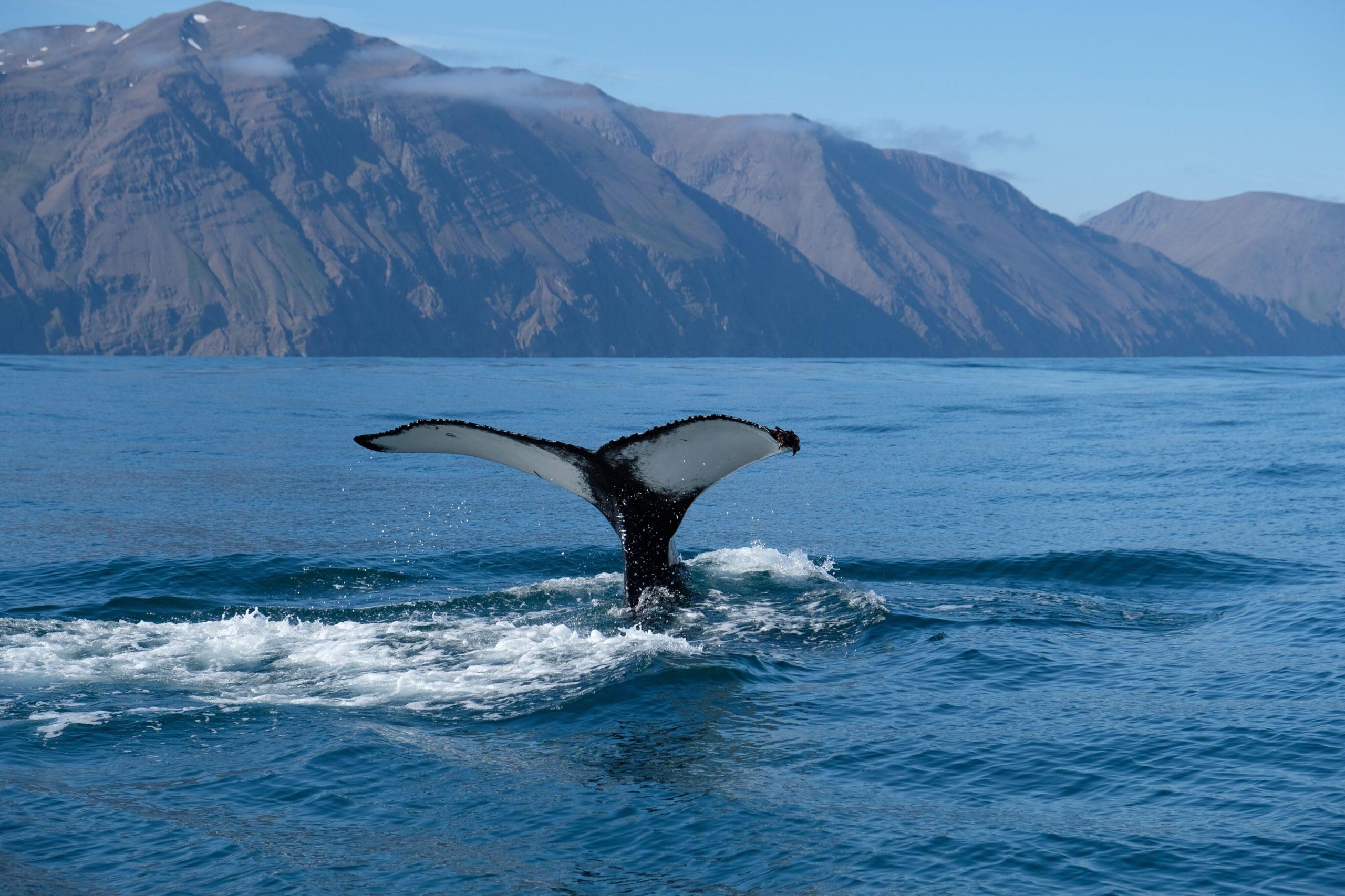 Les baleines rétrécissent à cause des activités humaines et notamment la pêche !
