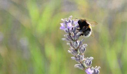 Les bourdons terrestres repèrent l'humidité florale grâce à leurs antennes dotées de sensilles PHOTO ALEXANDRE MARSAT